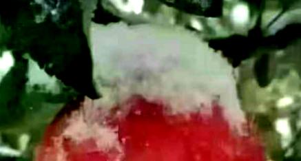 山西省唐人苹果庄园:长在雪树上的苹果香甜甜