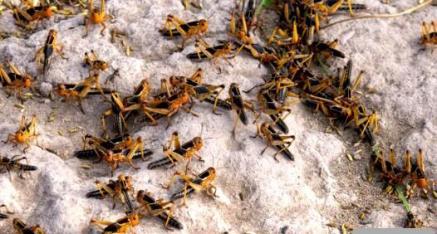 全州县卓一种养家庭农场:蚂蚱好味道 健康少不了