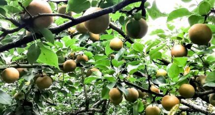 全州春红梨子种植合作社蒋国春:发展水果产业 助力瑶乡致富