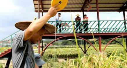 梧州田中农业公司:稻谷好 螺蛳姑娘喜洋洋 禾花鱼跃龙门
