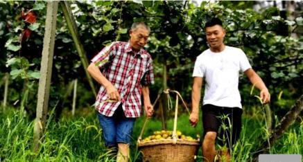 桂林市兴安县漠川司马园村百余亩红心猕猴桃迎丰收